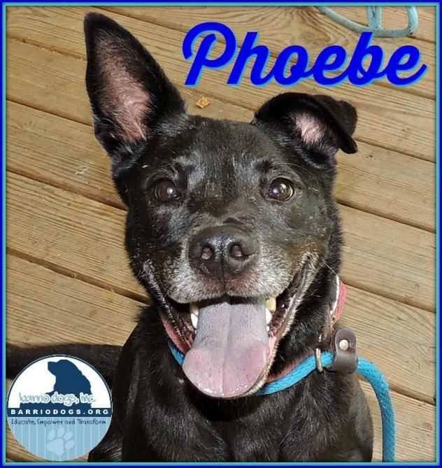 Adopt Phoebe On Dog Adoption Black Labrador Retriever Adoption