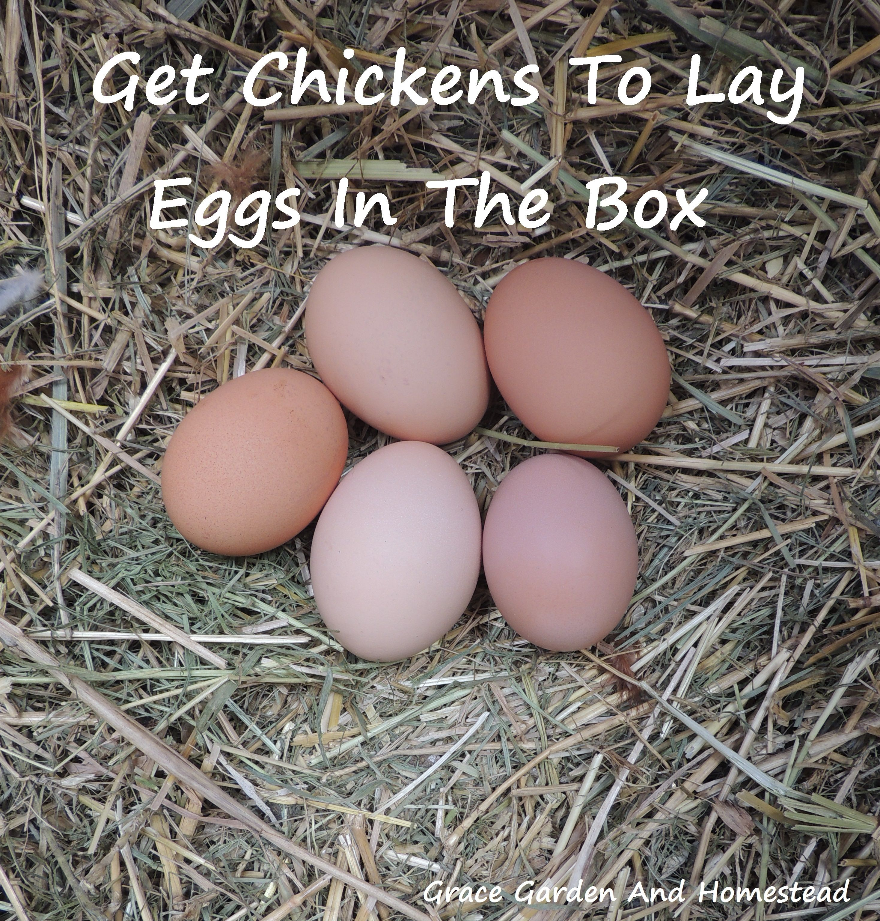 getting your chickens to lay eggs in their boxes u2022 nesting boxes