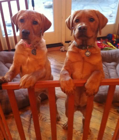 Red Fox Labs For Sale Fox Red Labrador Red Lab Puppies Red