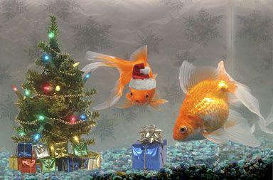 Stock Photo of composite goldfish swimming aquarium ...