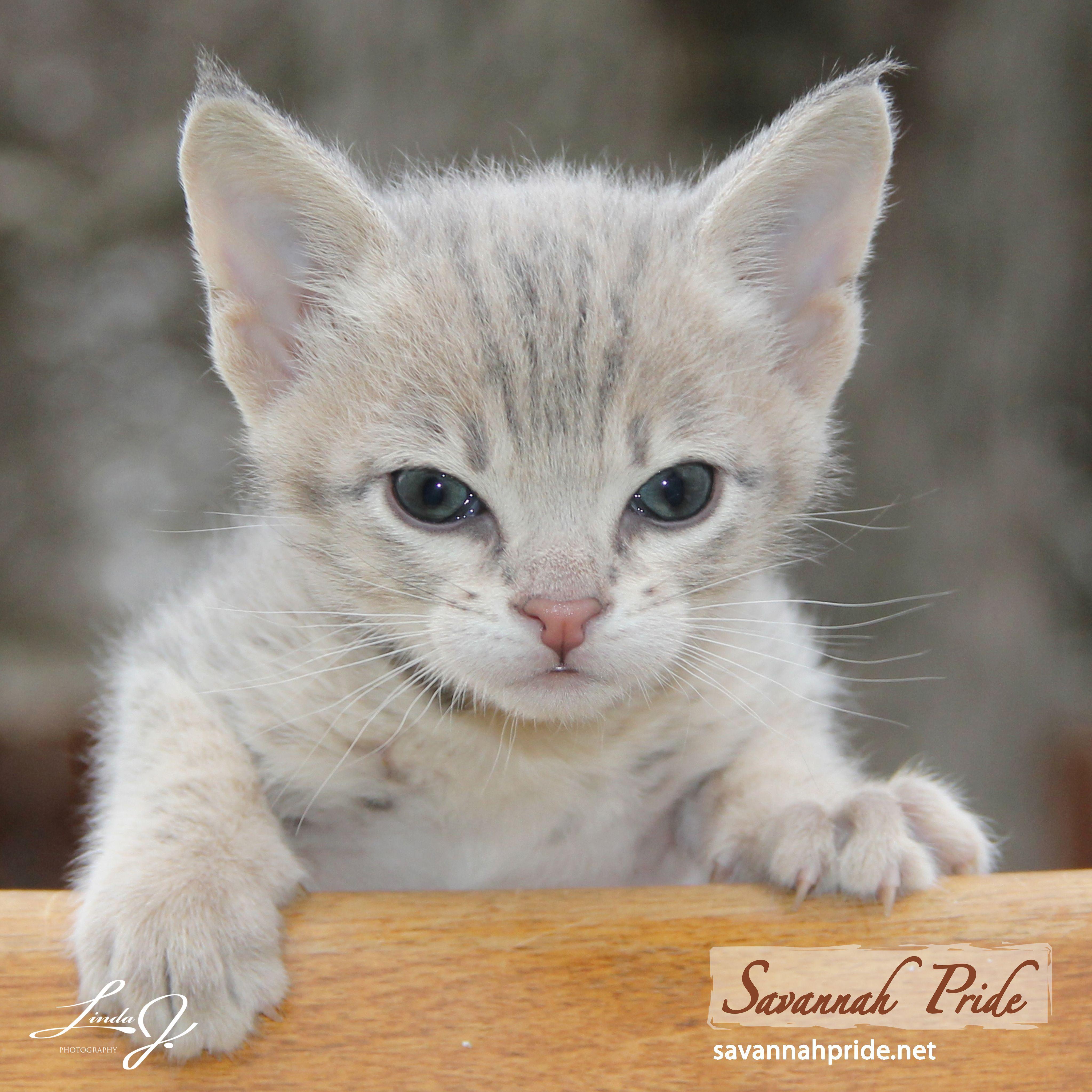 F2 Blue Savannah Cat Kitten Savannah Pride A Tica Registered