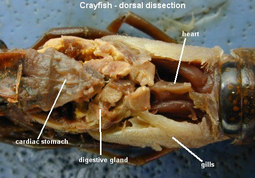 Crayfish Dissection Lab Companion | Apologetics | Pinterest