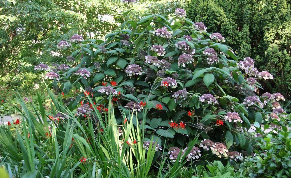 Samt-Hortensie, Raue Hortensie Hortensien, Blickfang und Raue - vorgarten anlegen nordseite
