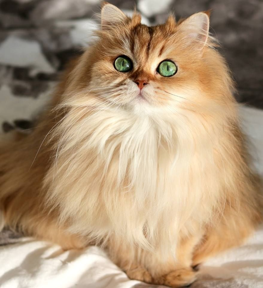 Golden British Longhair Cat Cute cats and kittens, Cats