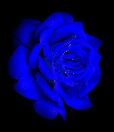 Blue Blue Rose Blue Roses Wallpaper Blue Roses Amazing Flowers