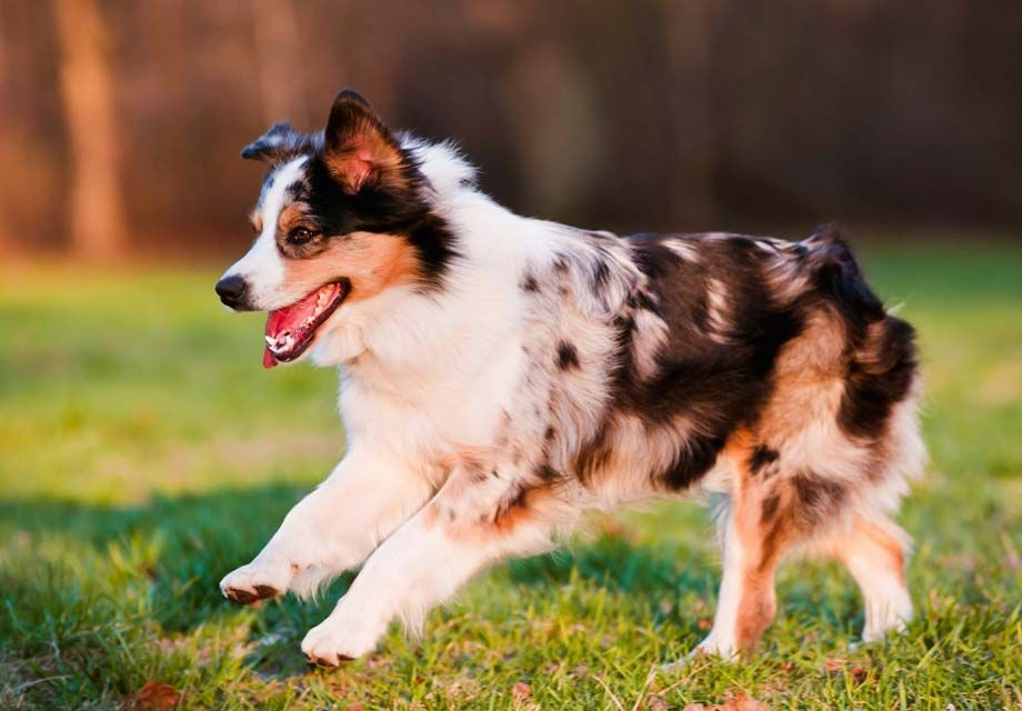 Find Miniature American Shepherd Puppies in your area and
