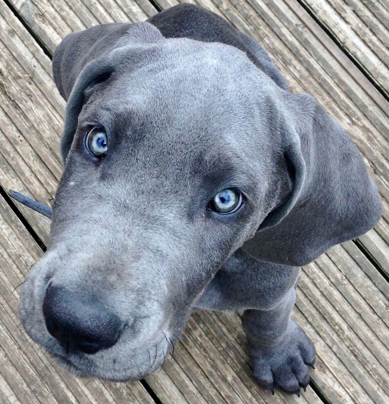 Blue Great Dane Puppy Dane Puppies Great Dane Puppy Puppies
