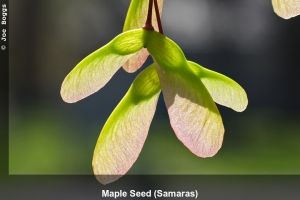 """Heavy seed production does not always indicate unhealthy!   """"Heavy Maple Seed Production"""" 