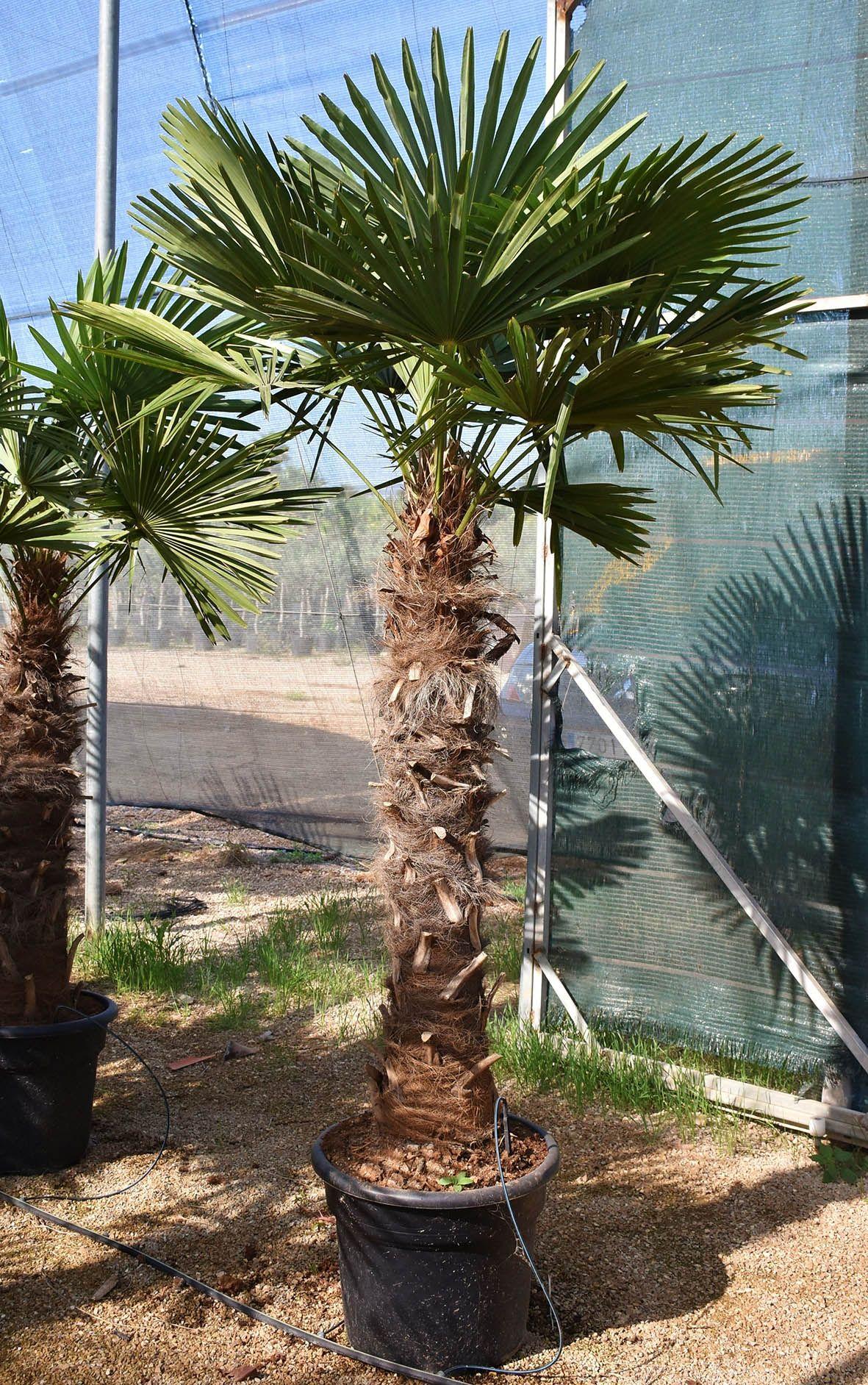 Hanfpalme Fortunei Winterhart 120 140 Stamm Sonderpreis Nutzen Sie Unseren Sonderpreis Und Sichern Sie Sich Jetzt Ihr Hanfpalme Palmen Garten Winterhart