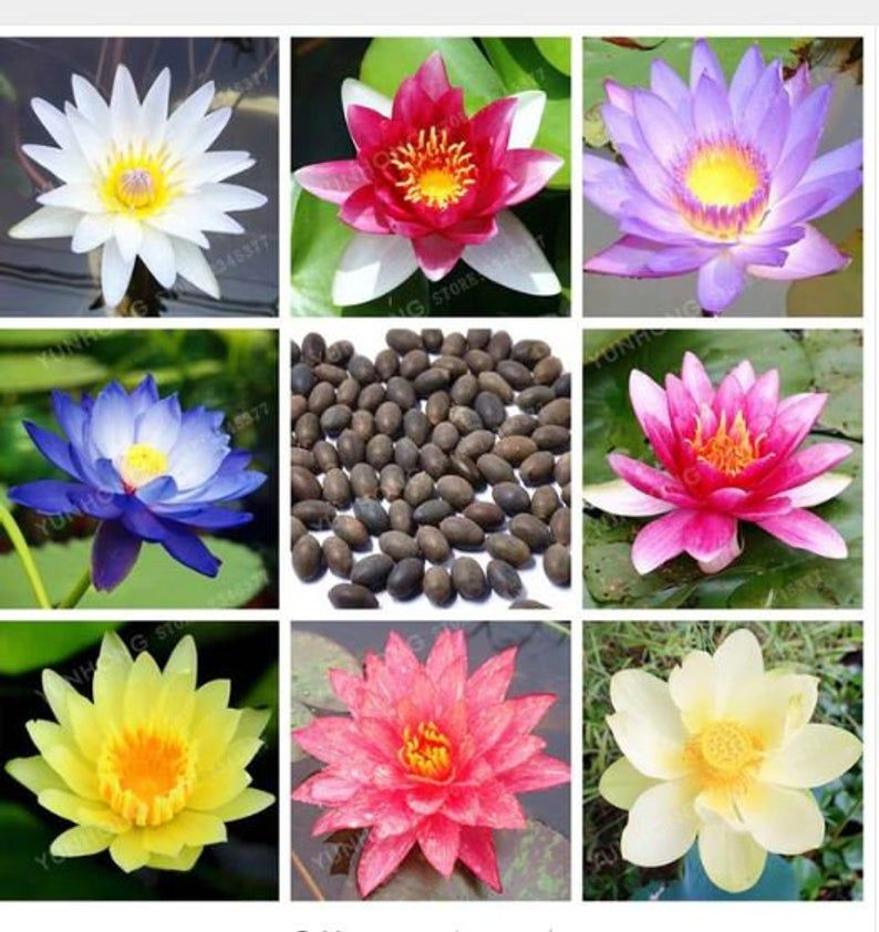 5 Mixed Water Lily Lotus Seeds Цветы Flower