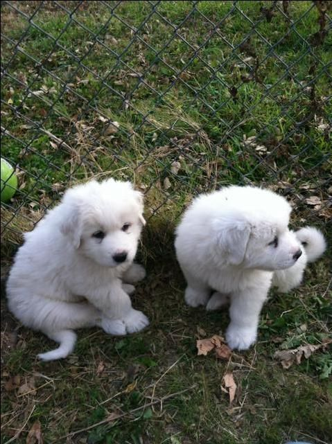 Great Pyranese Puppies Puppies Cute Puppies Mans Best Friend