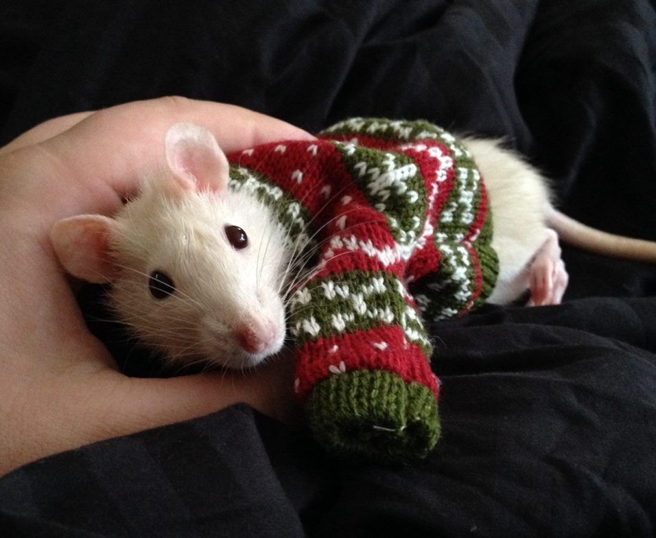 The Daily Cute: Sweater Weather Wednesday   Cute rats, Baby
