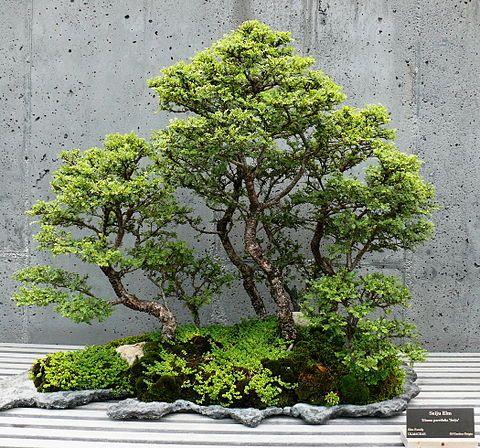 Saikei Wikipedia The Free Encyclopedia Elm Bonsai Chinese Elm Bonsai Indoor Bonsai Tree