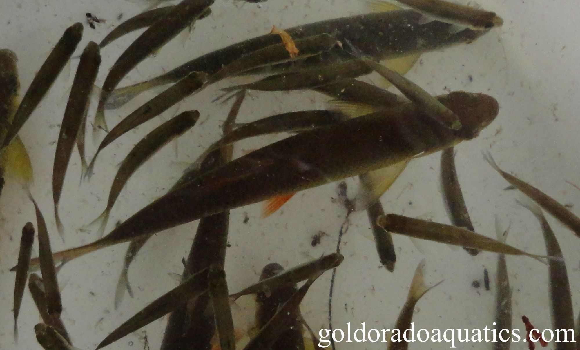 Fish Ponds Golden Shiner Fish Ponds Koi Koi For Sale