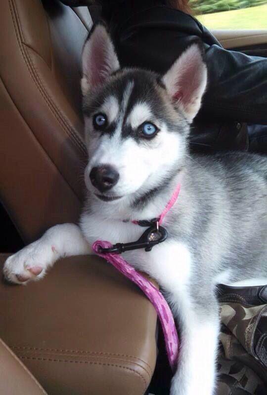 Lostdog 10 19 14 Howell Mi Siberianhusky Black Gray White 4