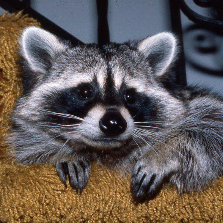 Stanleigh The Raccoon Raccoon costume, Raccoon, History