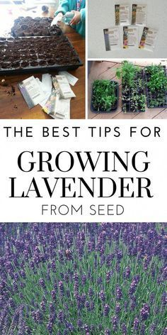 lavendel rabatt The best tips for successfully growing lavender from seed