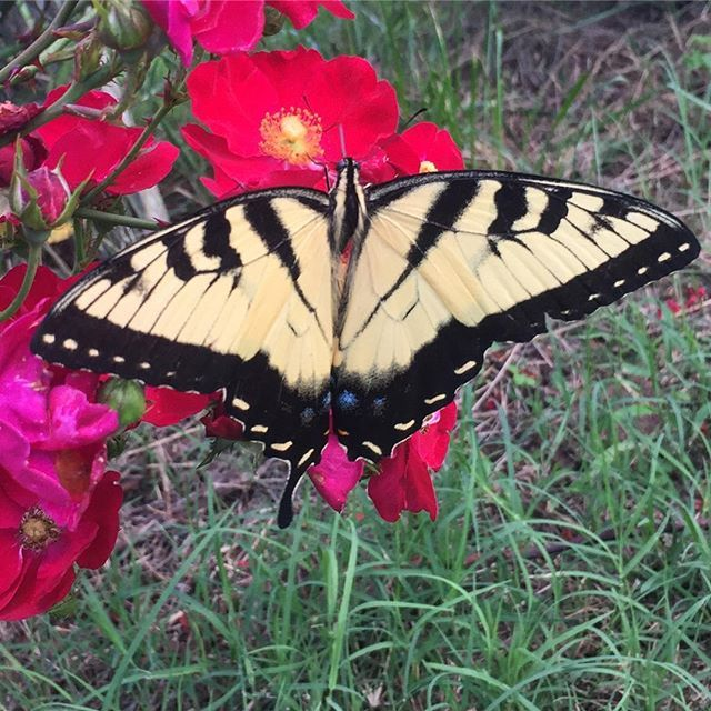 Edit: Not a monarch, derp.  Eastern Tiger Swallowtail.