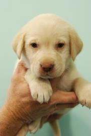 Meet Rock A 2 Months 13 Days Retriever Labrador Mix Available For Adoption In Belle Chasse La Dog Paws Labrador