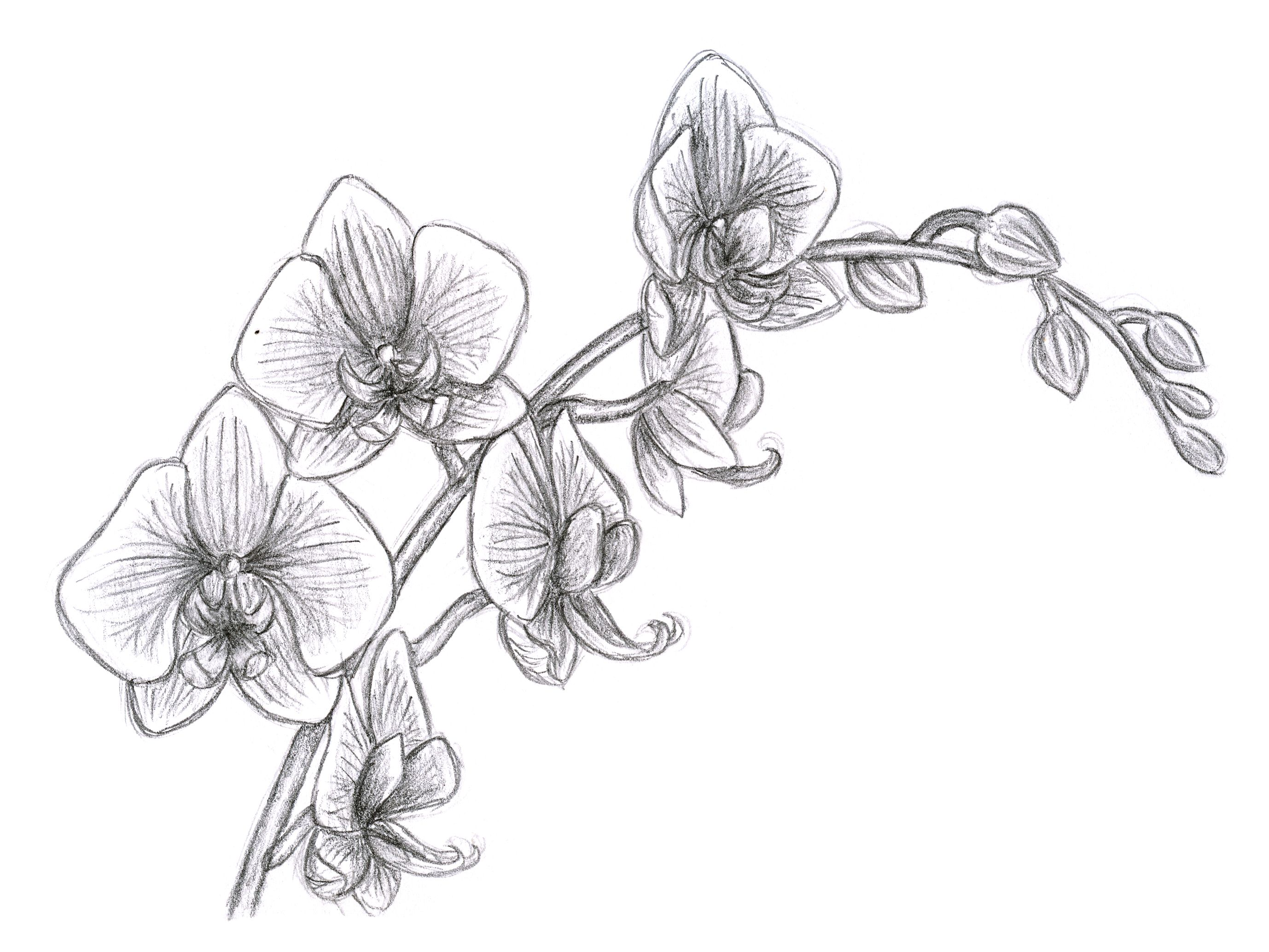 Orchid Flower Line Drawing : Oriental orchid pencil study plants gardening