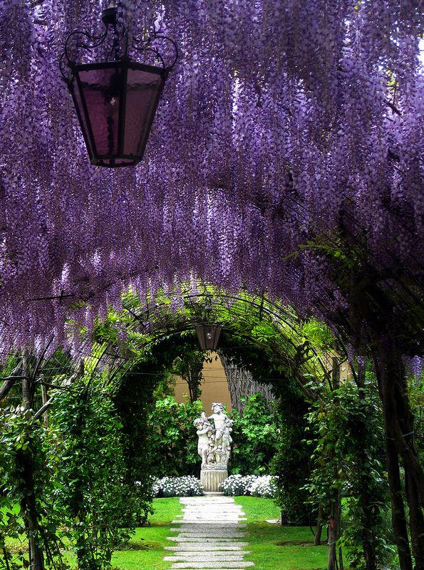 Purple rain - Wisteria tunnel