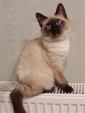 Pin By Ellie On Cute Balinese Cat Hypoallergenic Cats Cat Breeds Hypoallergenic