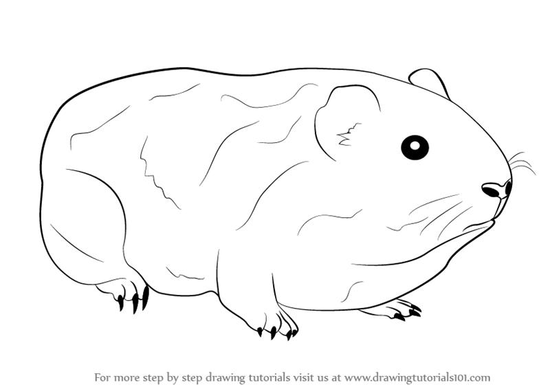 Картинки морская свинка раскраски
