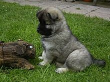 I Own A Eurasier Her Name Is Mochi We Read A Lot Of Articles