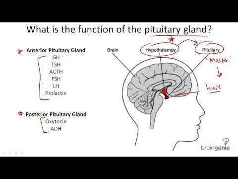 822 Pituitary Gland Structure And Function Things I Like To
