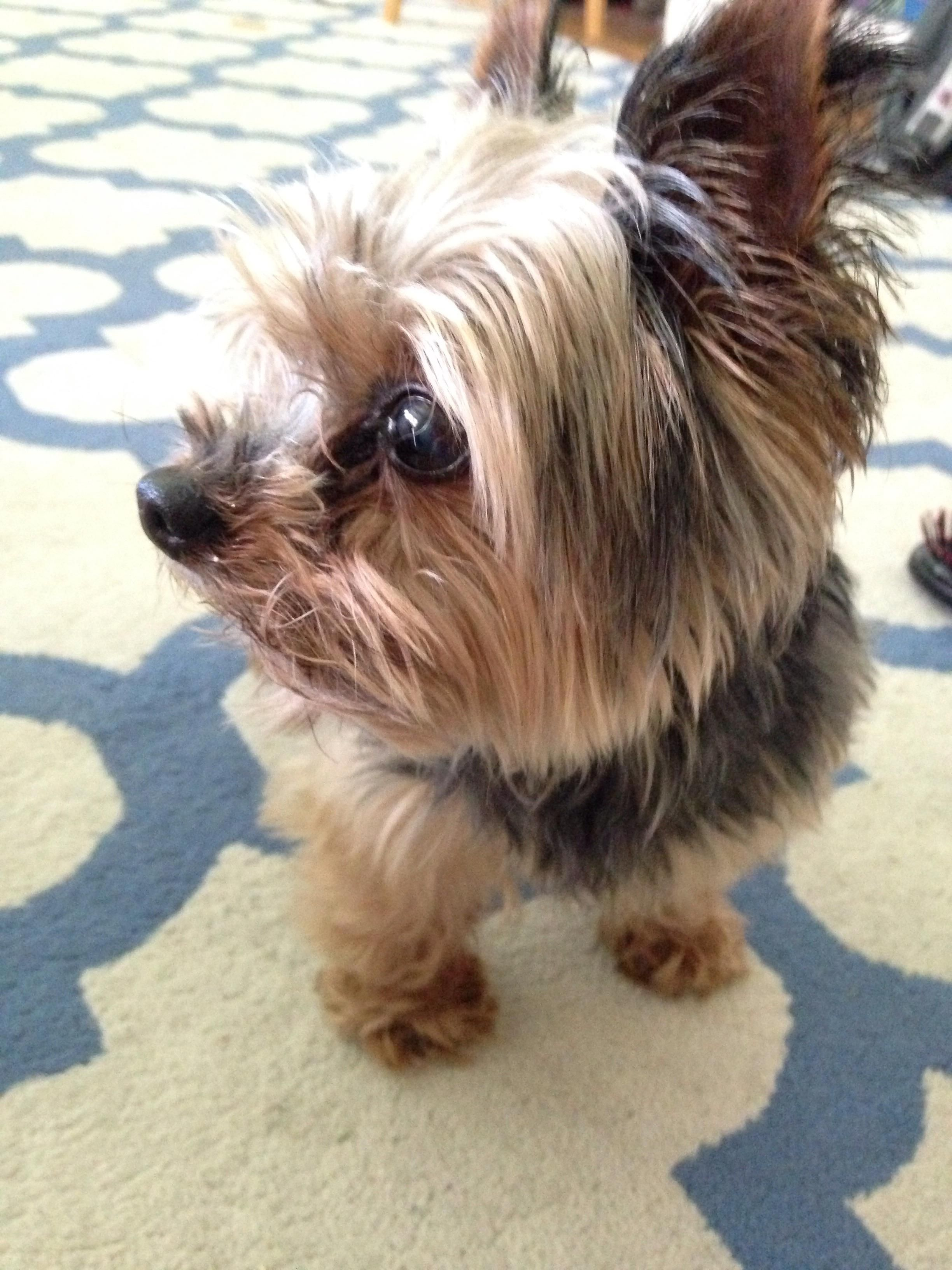 This Is Rambo A 12 Year Old Yorkie He S Blind Deaf Doesn T Have Any Teeth And Always Up For Cuddles Http Ift Tt 2q8spuu Blind Dog Yorkie Can Dogs Eat