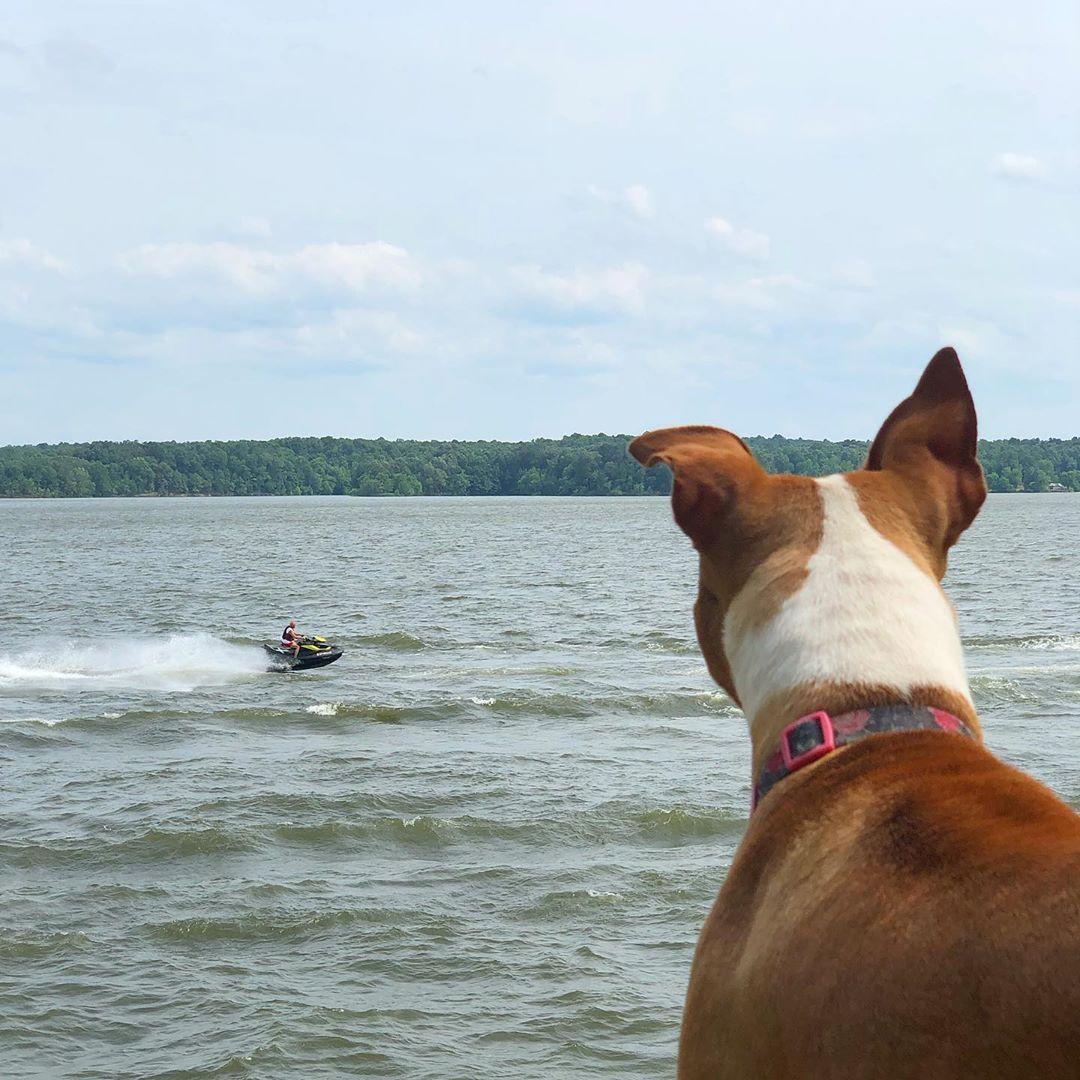 Pitbullsofig Pitbullgram Pits Pittsburgh Doggy Dog Doge