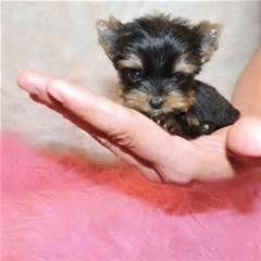 Available Teacup Yorkies The Average Market Price For Each Of