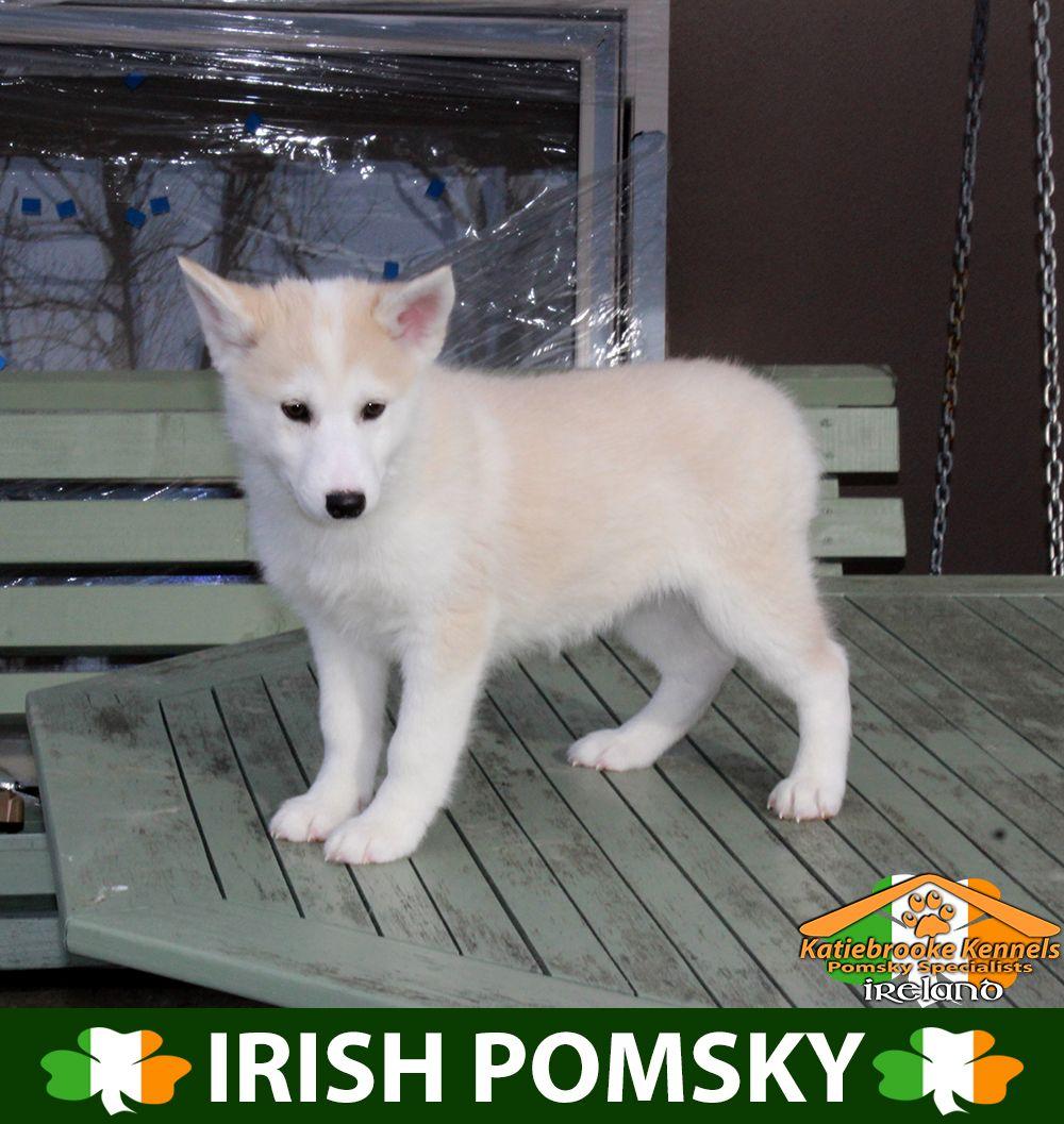 Katiebrooke Kennels Pomsky Specialists Ireland 800 Uk 1000 Europe 1000 Usa F1 Pomsky Puppy Sharron Brown Eyes X Female X Pomsky Puppies Pomsky Puppies