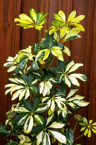 ingenious tropical foliage house plants. We could use the one you already have in a container and plant it  corner of deck planter bed Plant Category E Variegated green yellow Trimming Schefflera Houseplants How To Prune A