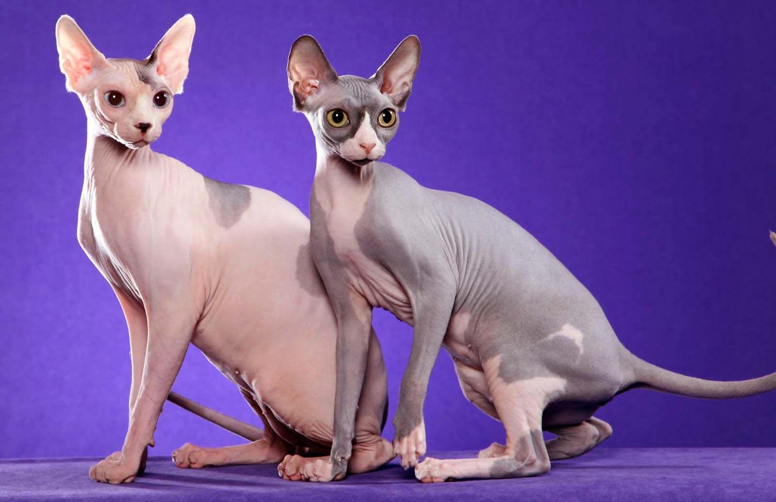 القط الفرعوني 300 إلى 3 000 دولار Cat Wallpaper Baby Cats Cats