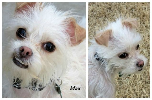 Adoptable Dog Of The Week Max Dogs Chihuahua Mix Pet Care