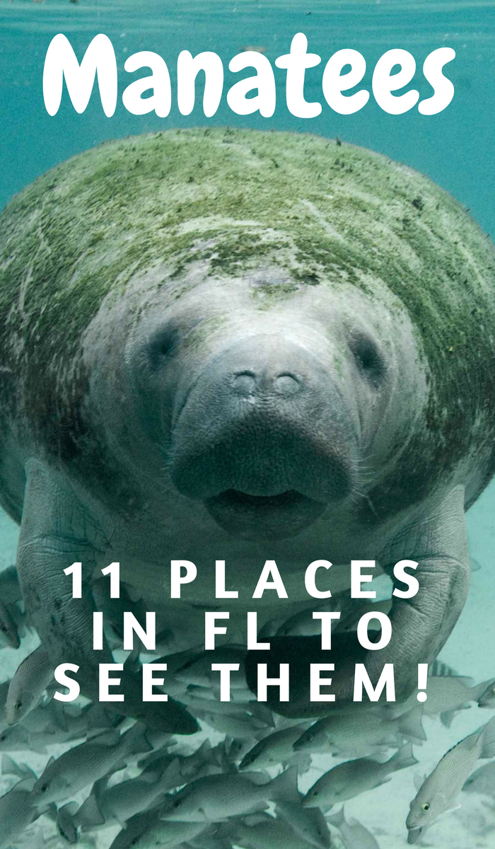11 Of The Absolute Best Places To View Manatees In Florida Visit Florida Swimming With Manatees Florida Adventures
