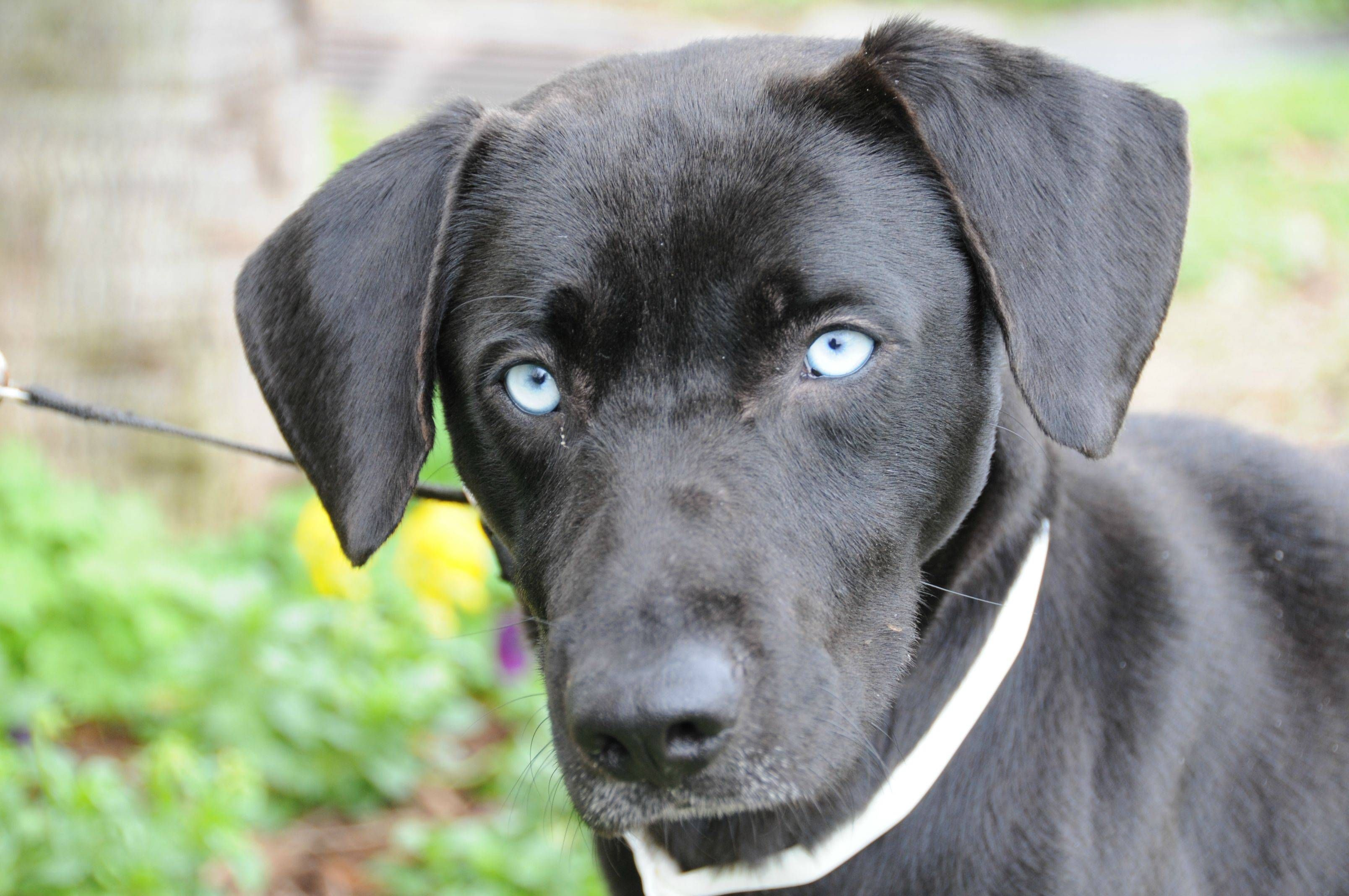 The Pup I M Fostering Black Lab With Blue Eyes Named Him Neptune What Do You Think Black Labrador Puppy Puppies With Blue Eyes Lab Dogs