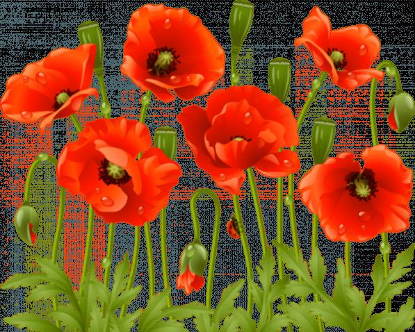 Flowers Flowers Png Poppy Flower Flower Art Red Poppies