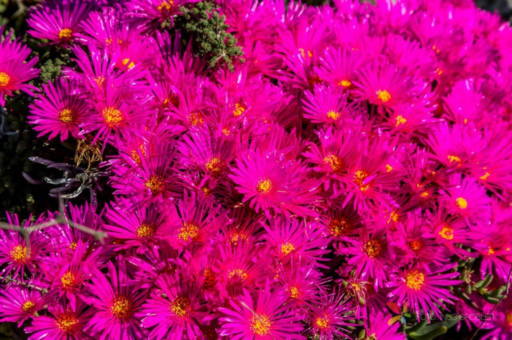 Pink Vygies on the West Coast of South Africa Flowers
