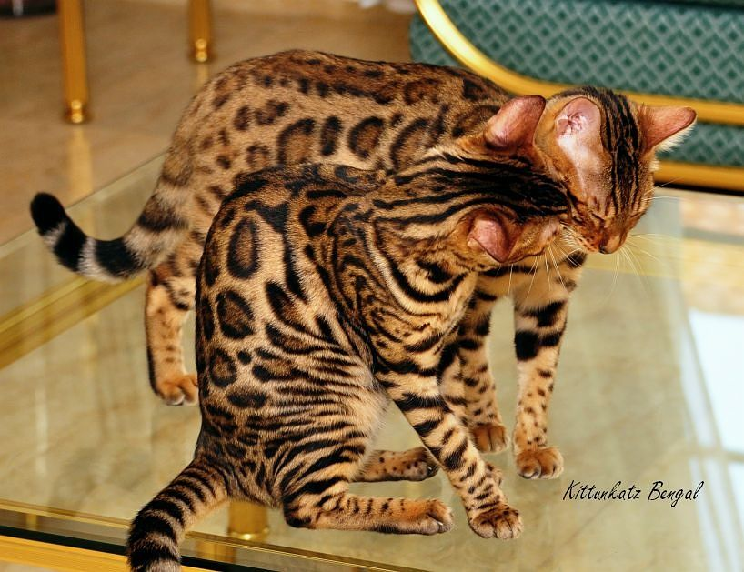 I Love You By Kittunkatz Bengals On 500px Bengal Cat
