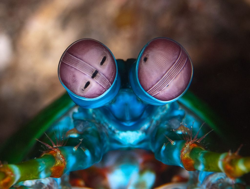 Animals With Incredible Eyes Pouted Online Magazine Latest Design Trends Creative Decorating Ideas Stylish Mantis Shrimp Mantis Shrimp Eyes Sea Creatures