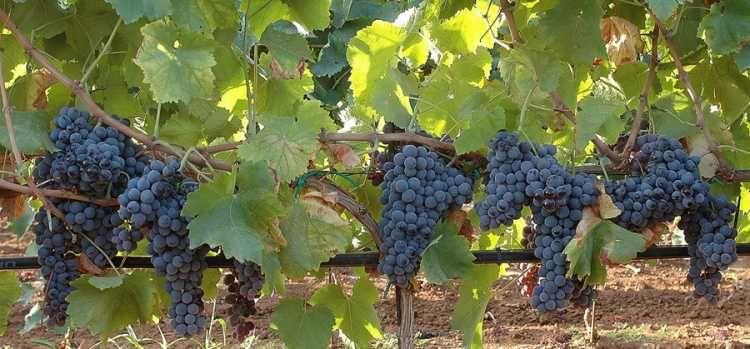 Nero d'Avola identity card Wines, Italian wine, Fall