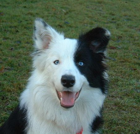 Black White Border Collie W Blue Eyes White Border Collie