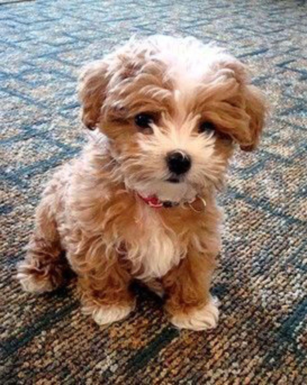 Mini Chien Chien Miniature Aux Poils Frises Marron Et Blanc In 2020 Maltipoo Dog Dog Names Havanese Puppies