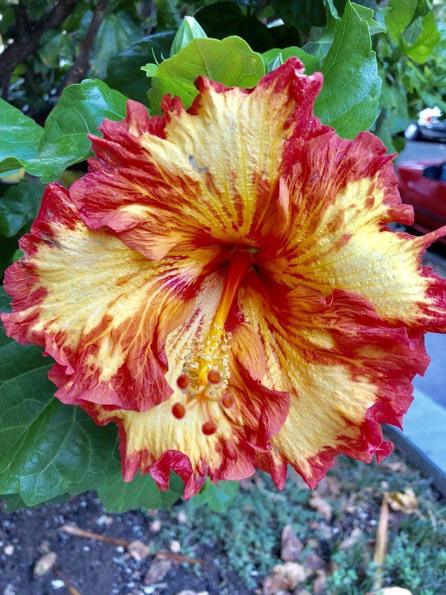 Hibiscus Rosa Sinensis Hibiscus Hibiscus Plant Hibiscus Hibiscus Flowers