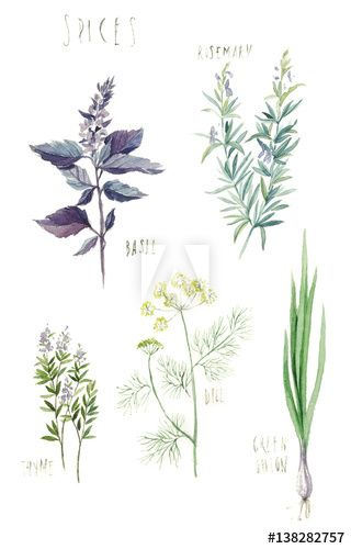 Spices Rosemary Basil Thyme Dill Green Onion Hand Drawn