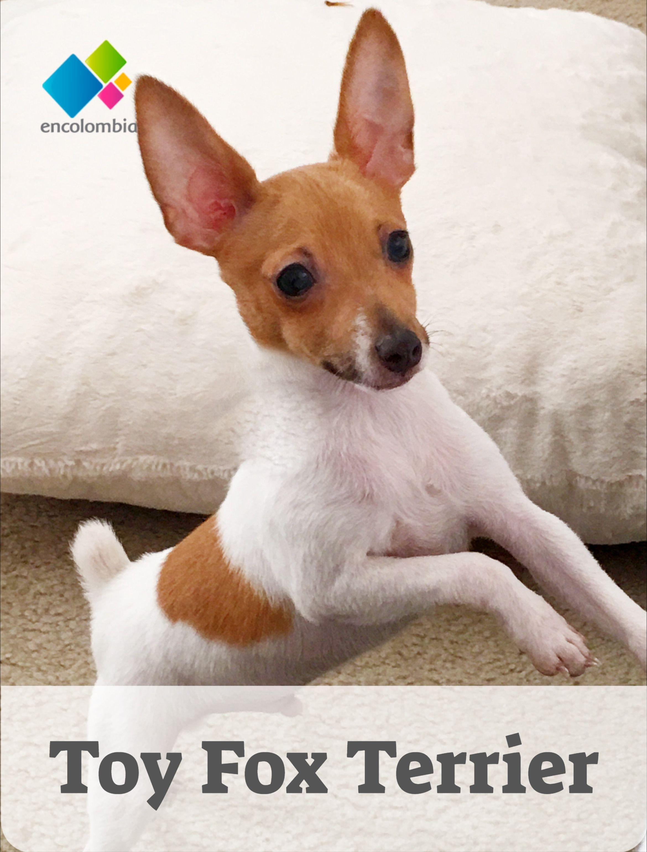 Toy Fox Terrier Razas Perros Características Y Cuidado Fox Terrier Terrier Fox Terriers