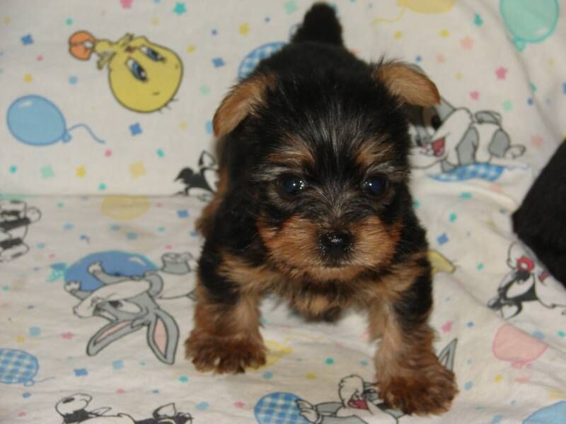 Yorkies Google Search Yorkie Puppy For Sale Baby Yorkie Yorkie