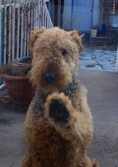 My Airedale Knocking On Back Sliding Door Airedale Terrier Airedale Dogs Dog Love